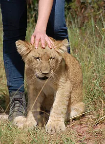 lion cub getting a cuddle